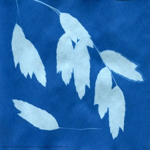 """A blue solar print of the seed pods of the grass known in Austin, Texas as """"sea oats""""."""