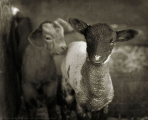 A black faced lamb sheep and a brown kid goat shelter together.