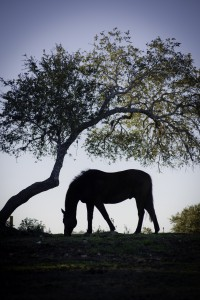 A horse in silhouette grazes in a pasture under a tree at sunset.